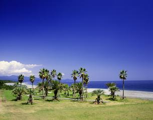 七里御浜とヤシの木の写真素材 [FYI03992012]