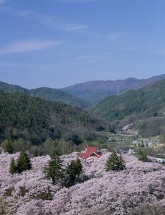 高遠城址公園の桜の写真素材 [FYI03992036]