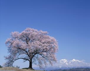 わに塚の桜と八ヶ岳の写真素材 [FYI03992052]