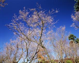 城峯公園の冬桜の写真素材 [FYI03992070]
