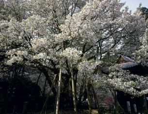 中将姫誓願桜の写真素材 [FYI03992072]