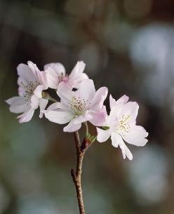 城峯公園の冬桜(十月桜)のアップの写真素材 [FYI03992073]