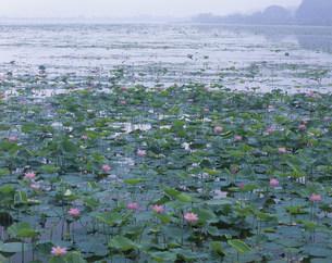 伊豆沼のハスの写真素材 [FYI03992081]