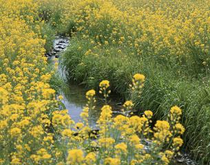 春の小川4月   福岡県の写真素材 [FYI03992092]