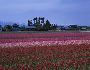 チューリップ畑4月   富山県の写真素材 [FYI03992094]