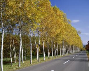 白樺並木の黄葉の写真素材 [FYI03992101]