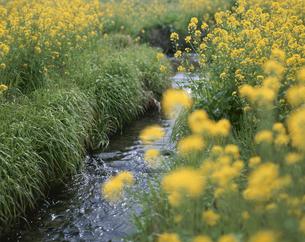 春の小川(筑後川支流)の写真素材 [FYI03992102]