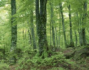 白神山地のブナ原生林の写真素材 [FYI03992105]