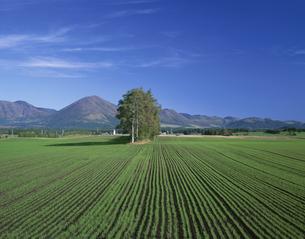 十勝平野の秋蒔き小麦の写真素材 [FYI03992106]