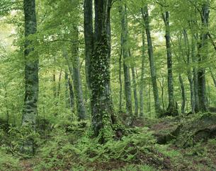 白神山地のブナ原生林の写真素材 [FYI03992107]