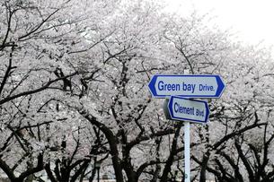 米軍横須賀基地 桜とストリート表示の写真素材 [FYI03992785]