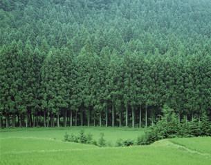 杉林の写真素材 [FYI03992959]
