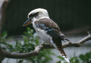 ワライカワセミ 上野動物園の写真素材 [FYI03992981]