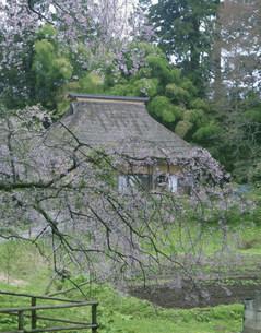 桜と茅葺き民家の写真素材 [FYI03993025]