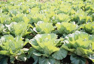 朝日に透ける白菜の写真素材 [FYI03993044]