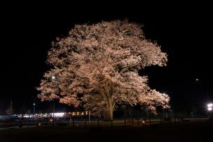 万燈桜ライトアップの写真素材 [FYI03993135]