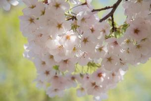 桜の写真素材 [FYI03993193]