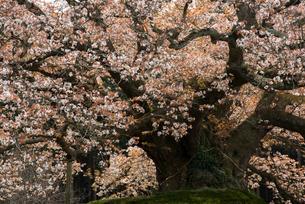 吉高の大桜の写真素材 [FYI03993203]