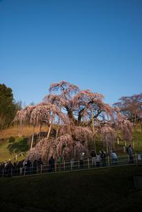 三春滝桜の写真素材 [FYI03993314]