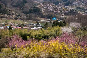 花見山と山村の写真素材 [FYI03993316]