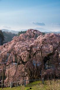 三春滝桜の写真素材 [FYI03993321]