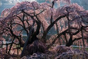 三春滝桜の写真素材 [FYI03993324]