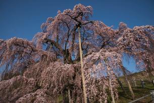 三春滝桜の写真素材 [FYI03993329]