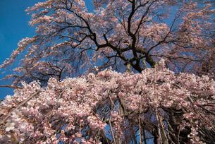 三春滝桜の写真素材 [FYI03993330]