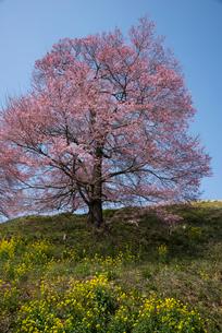 菜の花と桜の写真素材 [FYI03993393]
