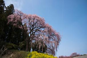合戦場のしだれ桜の写真素材 [FYI03993398]