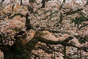 吉高の大桜の写真素材 [FYI03993454]