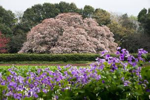 吉高の大桜の写真素材 [FYI03993460]