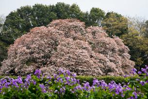 吉高の大桜の写真素材 [FYI03993463]