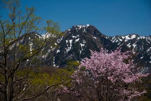 オオヤマザクラと戸隠連峰の写真素材 [FYI03993529]