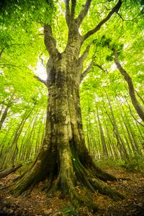 新緑ブナ巨木の写真素材 [FYI03993565]