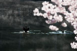 羽ばたくカモと桜咲く朝霧の蓼科湖の写真素材 [FYI03993579]