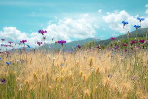 麦畑に咲くヤグルマソウの写真素材 [FYI03993986]