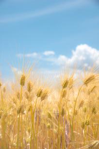 麦の穂の写真素材 [FYI03993988]