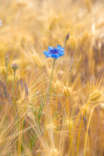 ヤグルマソウ咲く麦畑の写真素材 [FYI03994040]