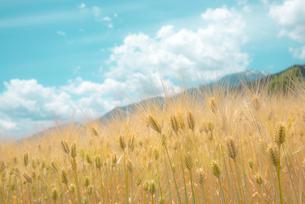 麦畑の写真素材 [FYI03994046]