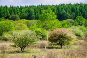 コナシ満開の春の霧ヶ峰高原の写真素材 [FYI03994049]