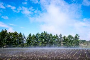 トウモロコシ苗畑の霧の写真素材 [FYI03994066]