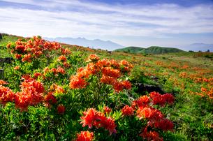 レンゲツツジ咲き誇る霧ヶ峰高原と八ヶ岳連峰の写真素材 [FYI03994088]