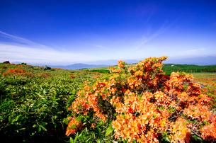 霧ヶ峰高原園地よりレンゲツツジ咲き誇る高原と南アルプス中央アルプスの写真素材 [FYI03994090]