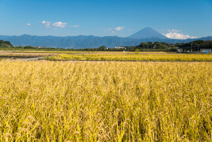 実る稲と富士山の写真素材 [FYI03994148]
