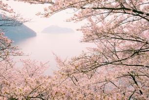 桜と琵琶湖竹生島の写真素材 [FYI03994289]