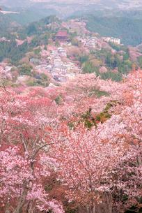 桜咲く吉野山中千本と上千本の山並の写真素材 [FYI03994306]