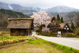 白川郷 桜と萩町合掌造り集落の写真素材 [FYI03994350]