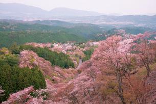 桜咲く吉野山中千本と上千本の山並の写真素材 [FYI03994354]