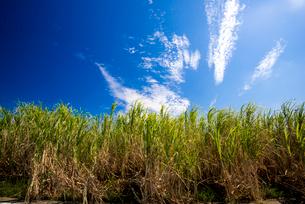 サトウキビ畑の写真素材 [FYI03994595]
